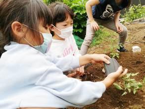 食農体験♪トマト苗を植えました!
